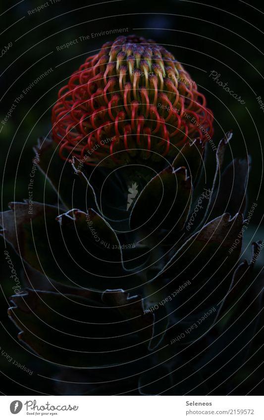 im dunkeln ist gut funkeln Sommer Umwelt Natur Frühling Pflanze Blume Blatt Blüte exotisch Protea Garten Park Blühend Farbfoto Außenaufnahme