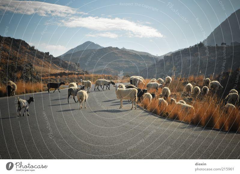 Wolle auf Wanderschaft Natur Himmel Wolken Ferne Straße Gras Berge u. Gebirge Glück Wege & Pfade Landschaft Umwelt laufen Tiergruppe Sträucher weich Asphalt