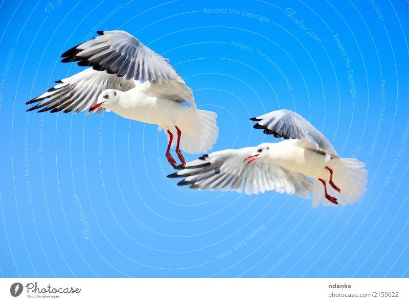 Zwei weiße Möwen schön Freiheit Sommer Meer Natur Tier Himmel Vogel 2 Schwarm fliegen Liebe wild blau Fliege zwei Entwurf sonnig Feder Himmel (Jenseits) Flügel