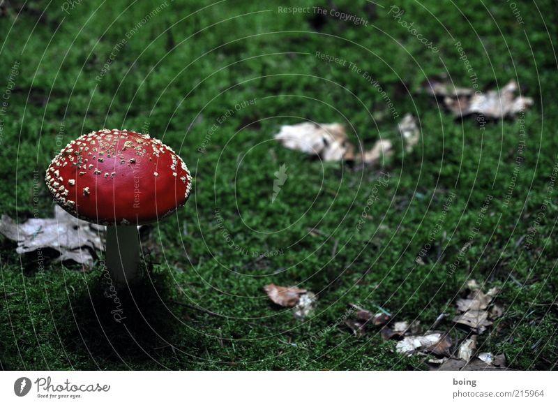 Motiv in dieser überraschenden Perspektive zu selten vertreten Natur weiß grün Pflanze rot Herbst Gras Pilz Moos gepunktet Fliegenpilz Warnfarbe