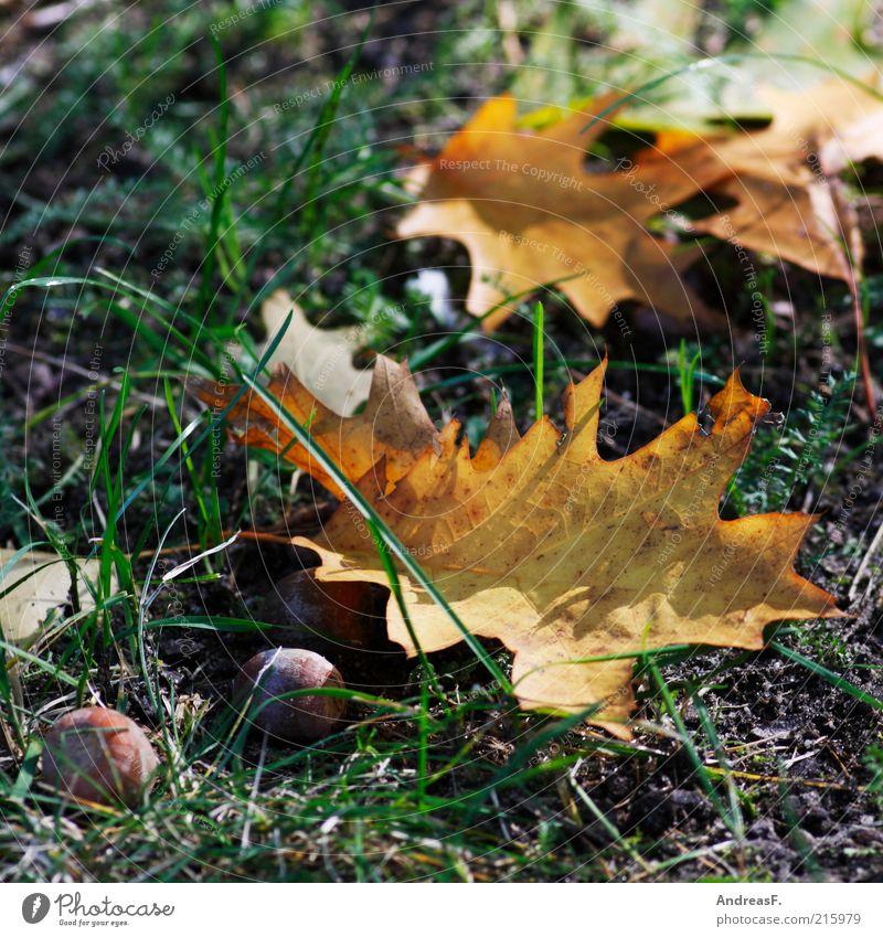 Herbstliches Natur Pflanze Blatt Gras Boden trocken Herbstlaub Oktober Eiche herbstlich Eicheln Herbstfärbung Eichenblatt