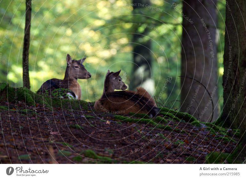 wir bleiben für uns.... Umwelt Natur Tier Baum Blatt Wald Wildtier Reh Rehkitz 2 Tierpaar Tierjunges liegen Blick ästhetisch elegant natürlich schön braun grün