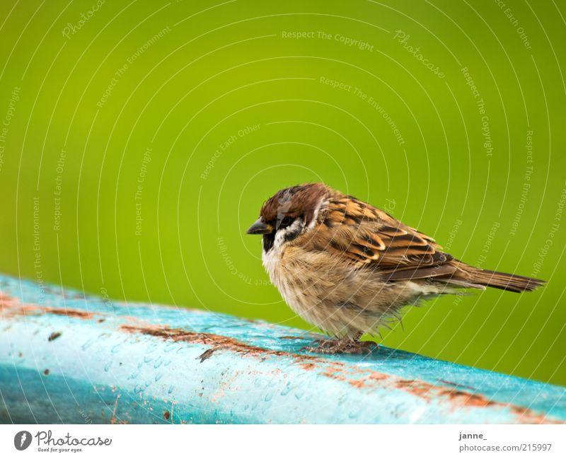 Wróbel Tier Vogel Spatz 1 blau braun grün Farbfoto Außenaufnahme Freisteller Hintergrund neutral Tag Tierporträt sitzen ruhig gefiedert Feder Ganzkörperaufnahme