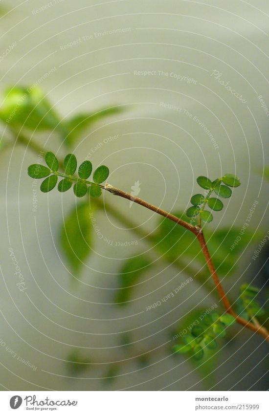 Sophora Pflanze Blatt klein elegant exotisch Grünpflanze