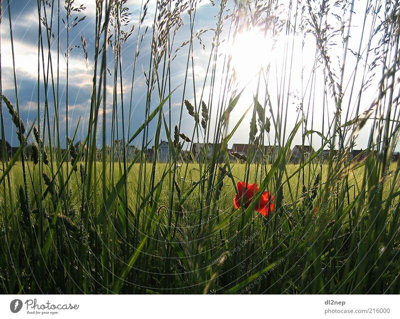 Mohnshine Freiheit Sommer Sonne Umwelt Natur Landschaft Pflanze Urelemente Schönes Wetter Blume Gras Blüte Wiese Feld Kunst Unendlichkeit Ferne Erde Tag