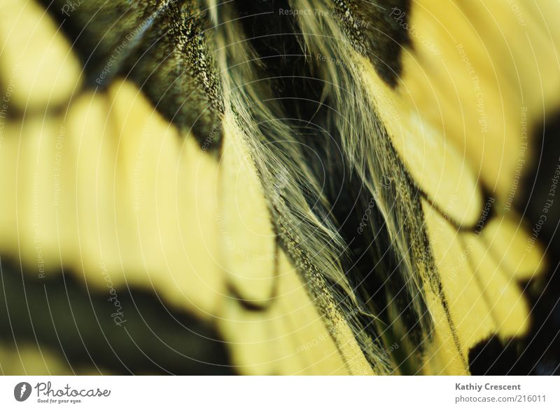 Schmetterlingsruecken. Natur schön schwarz Tier gelb Hintergrundbild ästhetisch nah weich einfach Flügel natürlich positiv Symmetrie