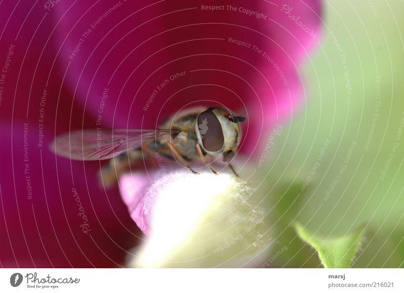 Zwischenlandung Natur schön weiß grün rot Sommer Tier Umwelt nah Tiergesicht natürlich Wildtier mehrfarbig Schwebfliege Facettenauge