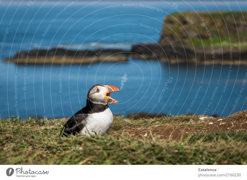 Ooo Oooo Ooo Natur Landschaft Pflanze Tier Wasser Sommer Schönes Wetter Gras Wiese Felsen Bucht Meer Atlantik Insel Vogel Papageitaucher 1 schreien Bekanntheit