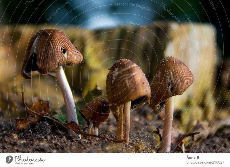 Glimmertintlinge Natur klein braun Erde Wachstum Urelemente Umwelt Waldboden Pilzhut