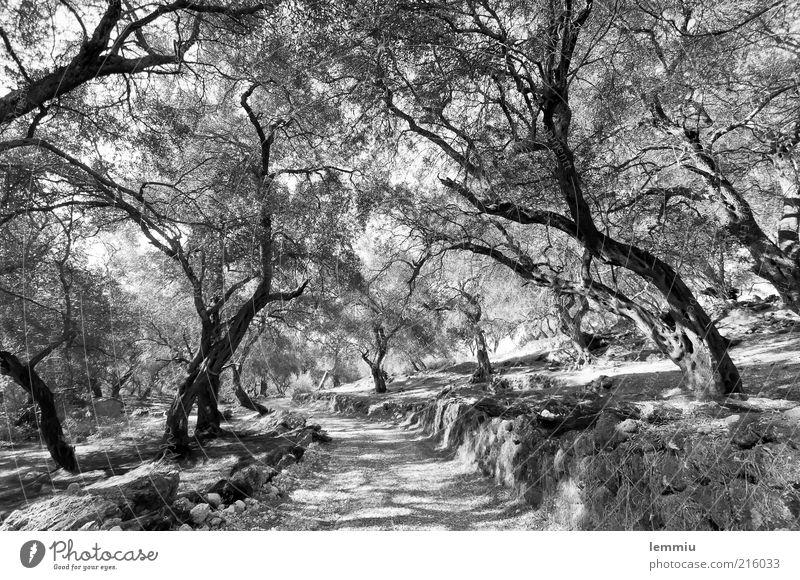 Olivenhain Natur Landschaft Pflanze Erde Baum Nutzpflanze Wald Wege & Pfade alt schwarz weiß Olivenbaum Korfu Mauer eigenwillig Schatten Ast Zweig Blatt