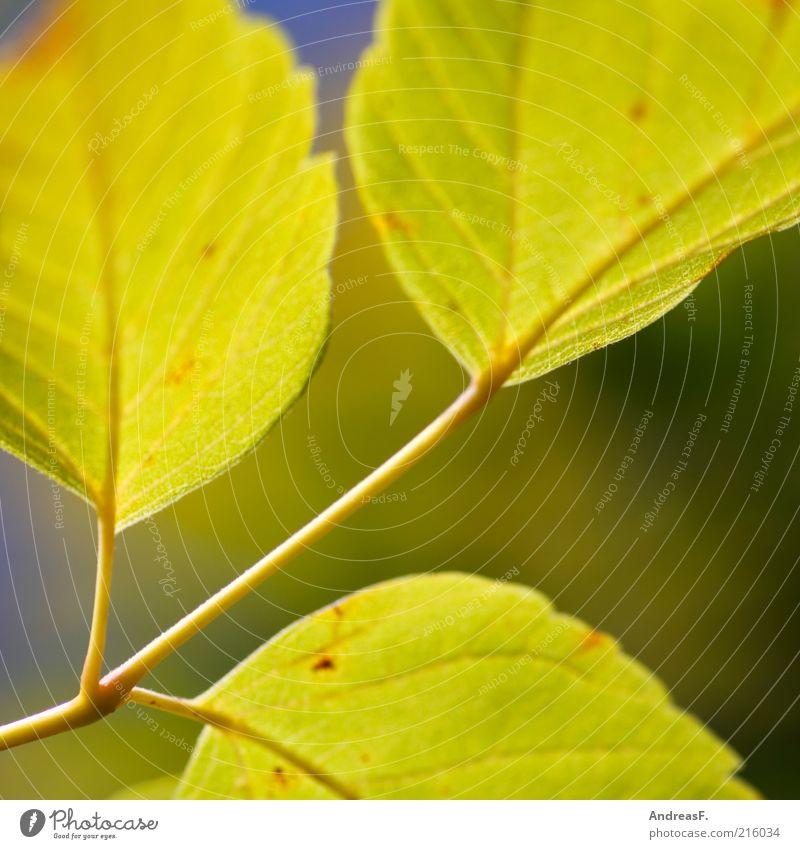 Herbstbild Natur grün Pflanze Blatt gelb Zweig Herbstlaub Makroaufnahme Oktober herbstlich Herbstfärbung Herbstbeginn