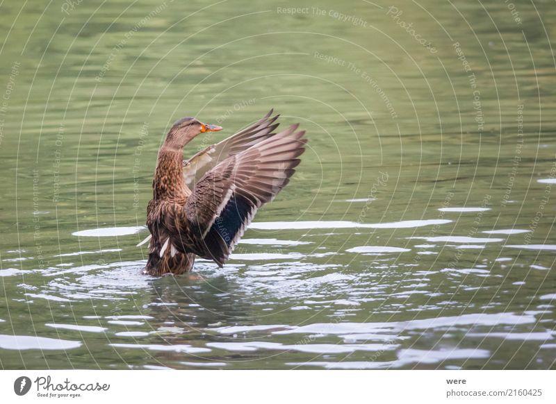 Dirigent Natur Tier Wasser Teich See Wildtier Vogel Stockente 1 Fitness fliegen außergewöhnlich braun grün Aggression Bewegung Umweltschutz Biotop Ente Erpel