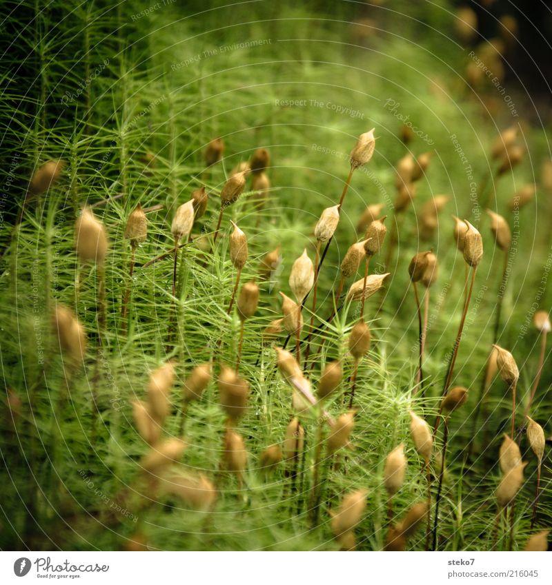 famoos III schön grün Blüte Gras braun Wachstum Blühend Moos Gräserblüte