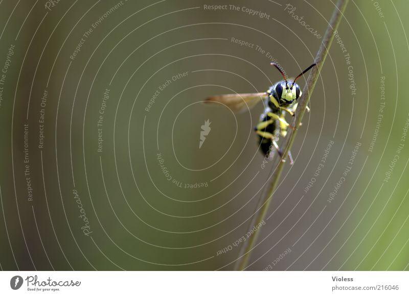 Ja, da lang ;-) schwarz Tier gelb lustig Fröhlichkeit nah Flügel Insekt Biene niedlich Lächeln frech Wespen Makroaufnahme