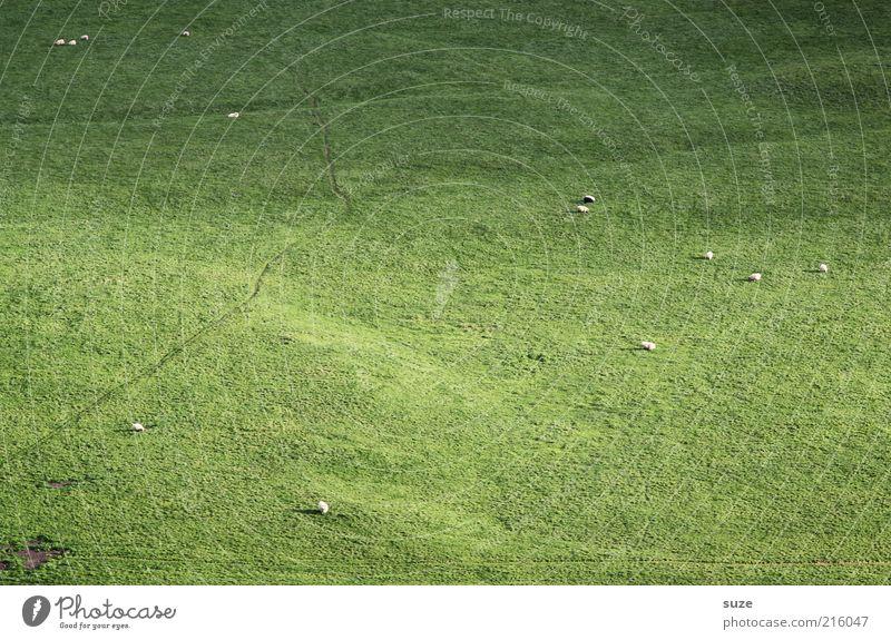 Die Wiesn Natur grün Tier Wiese Gras klein mehrere Landwirtschaft Weide Schaf Fressen Island tierisch Forstwirtschaft Nutztier Herde