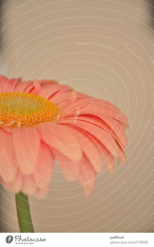 Gerbera I Innenarchitektur Dekoration & Verzierung Natur Pflanze Blume Topfpflanze stehen oben schön rosa Blüte Blütenblatt zart sanft Blütenstiel Menschenleer