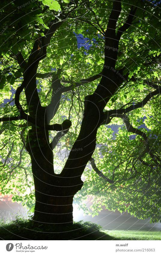 Licht und Schatten Natur alt grün Baum Pflanze Blatt schwarz Umwelt Holz Stimmung Park außergewöhnlich Ast bizarr Baumstamm Umweltschutz