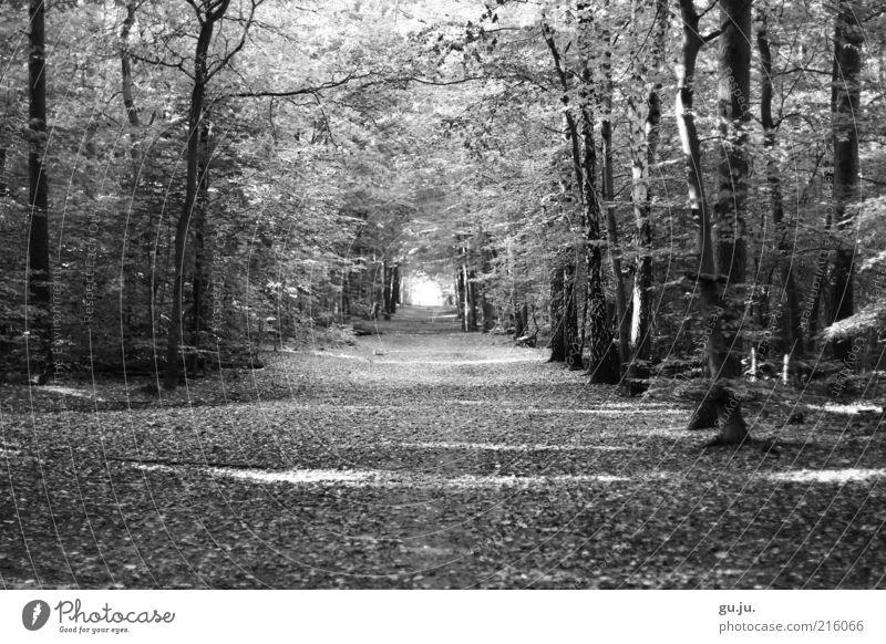 Grunewald Spaziergang Spazierweg Ausflug Herbst Umwelt Natur Pflanze Erde Baum Blatt Blätterdach Allee Wege & Pfade Wald schwarz weiß Menschenleer frei