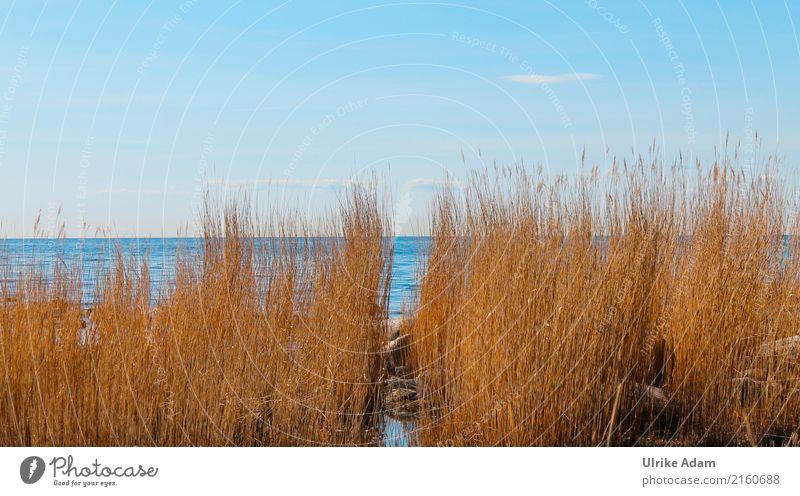 Schilfrohre (Phragmites) an der Küste von Bornholm Ferien & Urlaub & Reisen Sommer Landschaft Meer Erholung Ferne Strand Tourismus Schwimmen & Baden Wellen