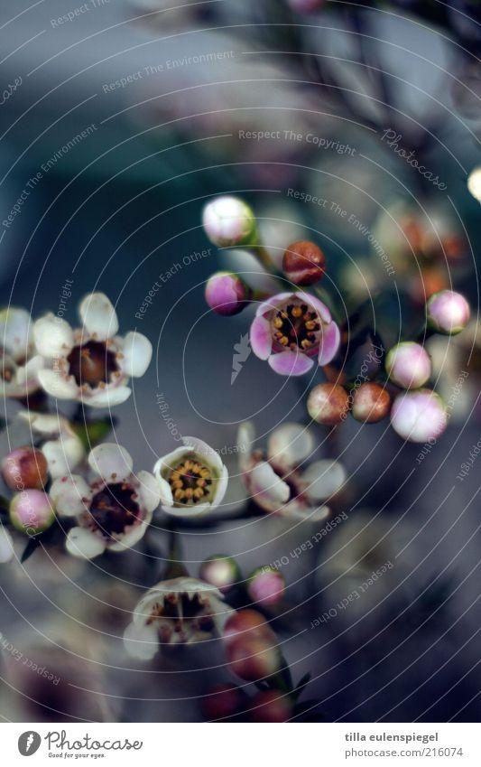 zuckersüß Pflanze Blume Blüte ästhetisch natürlich Originalität schön wild mehrfarbig Natur Umwelt blau Blütenpflanze Unschärfe Farbfoto Textfreiraum oben