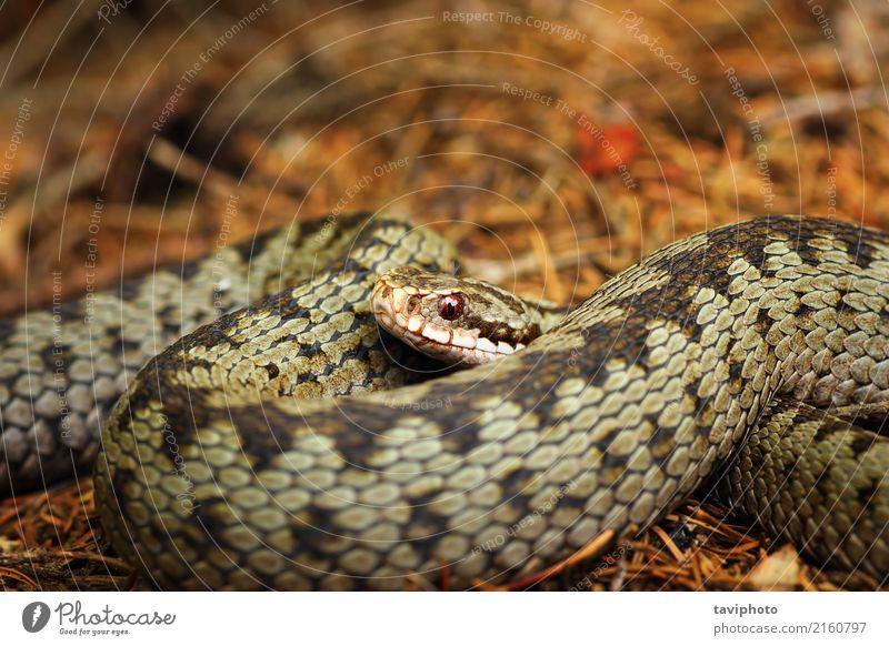 schöne Nahaufnahme der europäischen gekreuzten Viper Natur Tier Wildtier Schlange wild braun grau Angst gefährlich Natter Ottern allgemein Vipera berus Kopf
