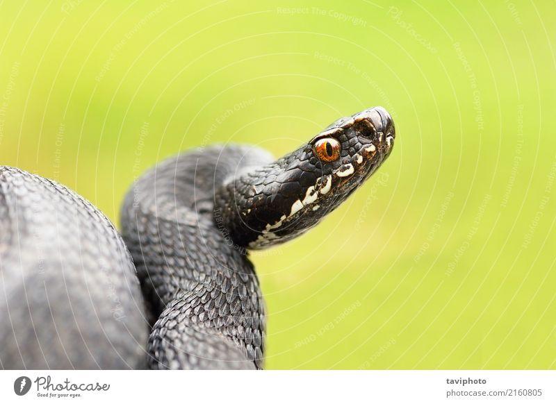 ausführliches Porträt der schwarzen weiblichen Viper Natur schön Tier natürlich wild gefährlich Lebewesen Wissenschaften Europäer Single Gift Reptil Schlange