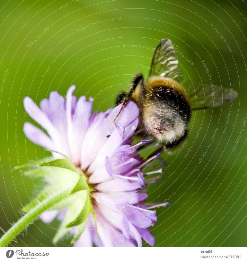 blümchen und bienchen Natur Pflanze Tier Blüte Nutztier 1 authentisch Biene Blume bestäuben Farbfoto Außenaufnahme Nahaufnahme Detailaufnahme Rückansicht Flügel