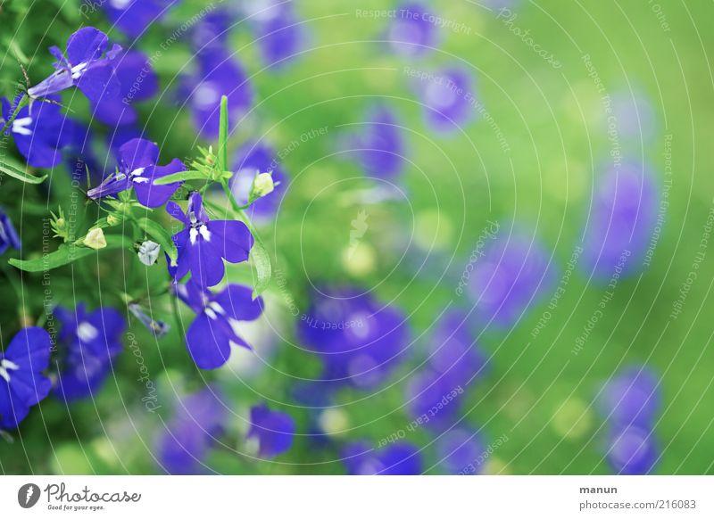 grün und blau Natur Blume Stauden Sommerblumen Blühend ästhetisch Duft fantastisch schön natürlich Farbfoto Außenaufnahme Tag Blüte Menschenleer Unschärfe