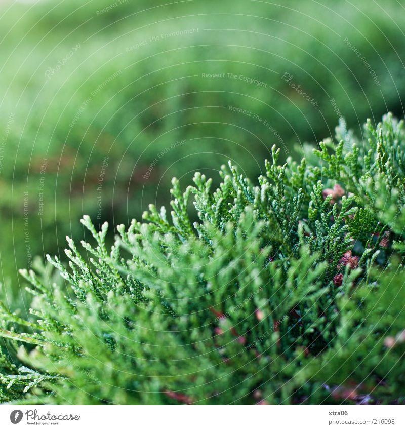 grün Umwelt Natur Pflanze Sträucher Grünpflanze Farbfoto Außenaufnahme Schwache Tiefenschärfe Konifere Textfreiraum oben Menschenleer Wachstum Tanne