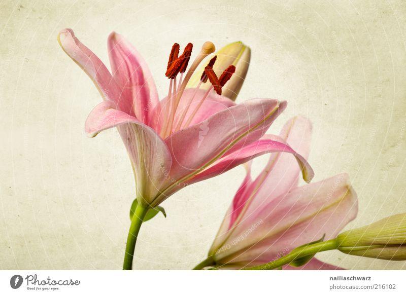 Rosa Lilien Natur Pflanze Blume Blatt Blüte ästhetisch einfach exotisch retro grün rosa elegant schön alt Farbfoto mehrfarbig Studioaufnahme Nahaufnahme