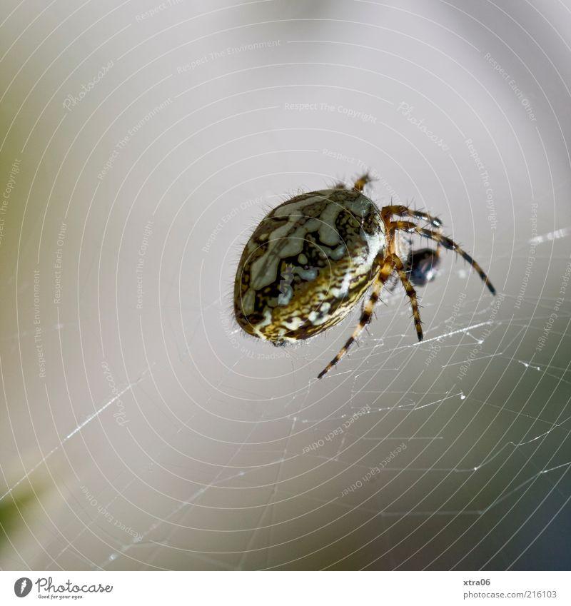 spinne Tier grau gruselig Spinne Spinnennetz Makroaufnahme Netz Spinnenbeine
