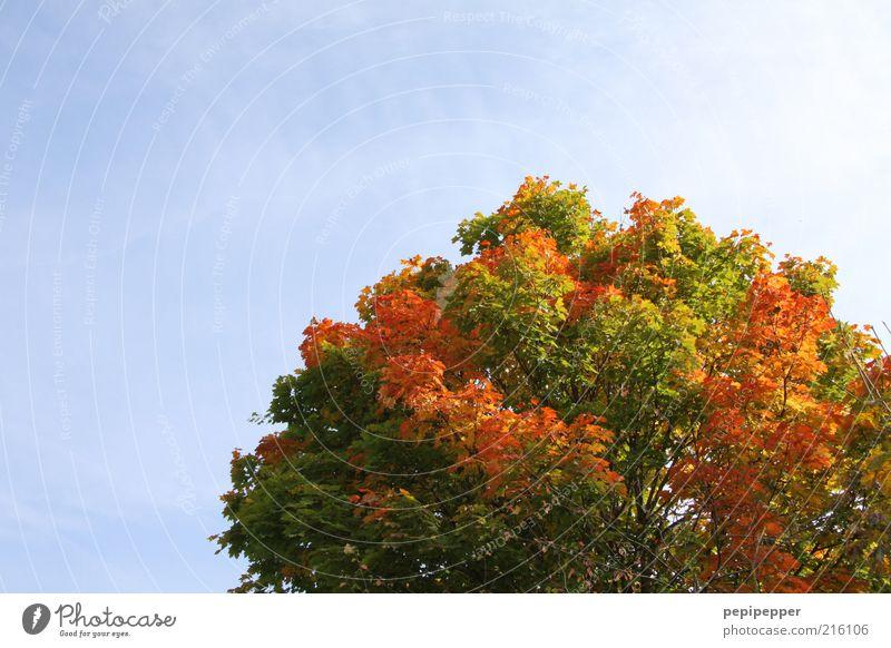 rotschopf Natur schön alt Himmel Baum Pflanze Ferien & Urlaub & Reisen Einsamkeit Farbe Wetter Vergänglichkeit Schönes Wetter Baumkrone Wolkenloser Himmel Herbstfärbung Herbstbeginn