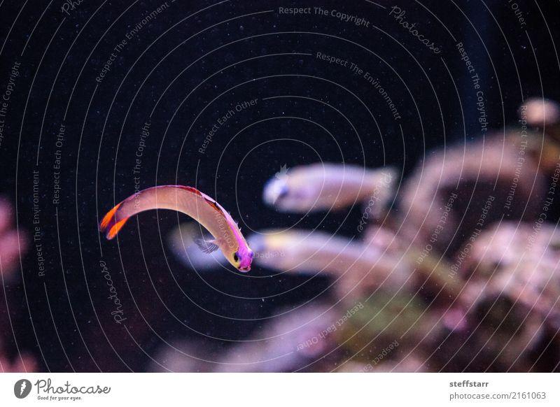 Lila Kappe Feuerfische, Nemateleotris Decora Meer Wasser Riff Korallenriff Tier Wildtier Fisch Tiergesicht Aquarium 1 violett orange rosa rot Salzwasserfisch