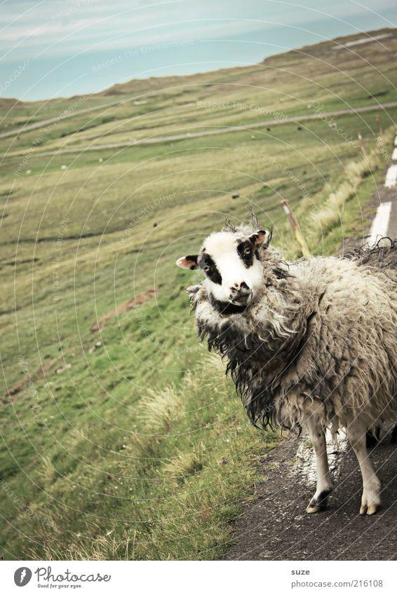 Neugierde Karla Natur Landschaft Wiese Straße Wege & Pfade Tier Nutztier Tiergesicht 1 authentisch außergewöhnlich niedlich wild Føroyar Schaf Wolle Viehzucht