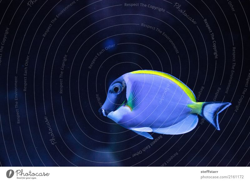 Powderblue Tang Fisch Acanthurus Leucosternon Meer Riff Korallenriff 1 Tier blau gelb Pulverblauer Zapfen Leukosternon Hauch schwimmen Meeresfische