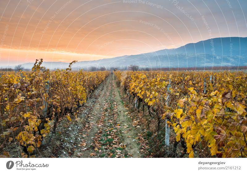 Weinberge bei Sonnenaufgang. Herbstliche Weinberge am Morgen Himmel Natur Ferien & Urlaub & Reisen grün Landschaft rot gelb Tourismus Wachstum Bauernhof