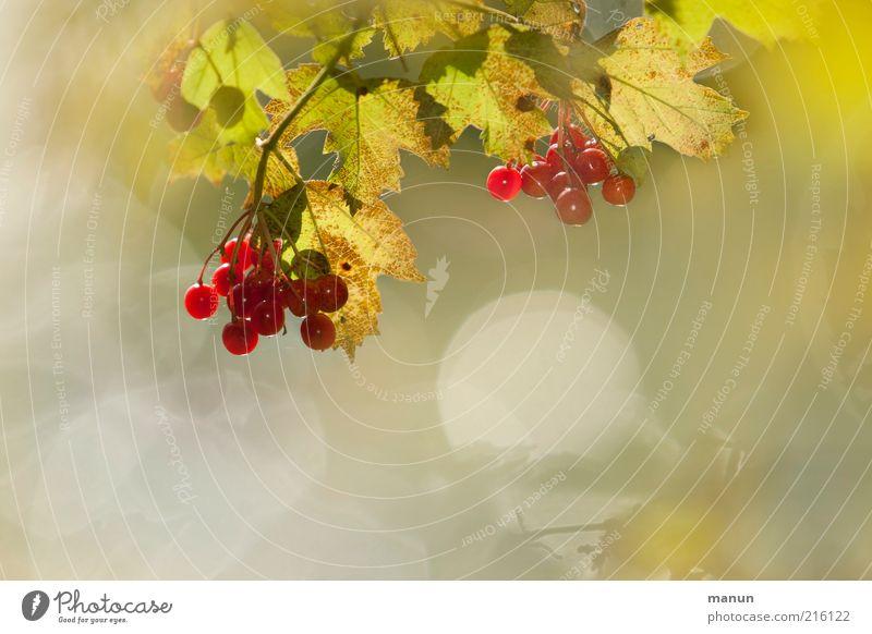 wilde Beeren Natur schön Pflanze Sommer Blatt Ernährung Umwelt Frucht Wachstum Sträucher wild leuchten lecker reif Ernte Schönes Wetter