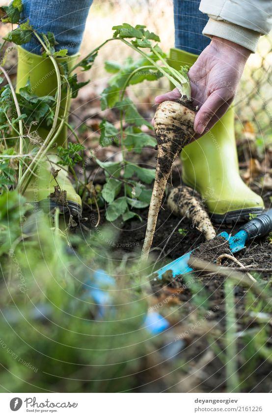 Pastinaken im Garten hautnah. Gemüse Vegetarische Ernährung Sommer Gartenarbeit Hand Natur Pflanze Erde Blatt Holz frisch natürlich Pastinakwurzeln Wurzel