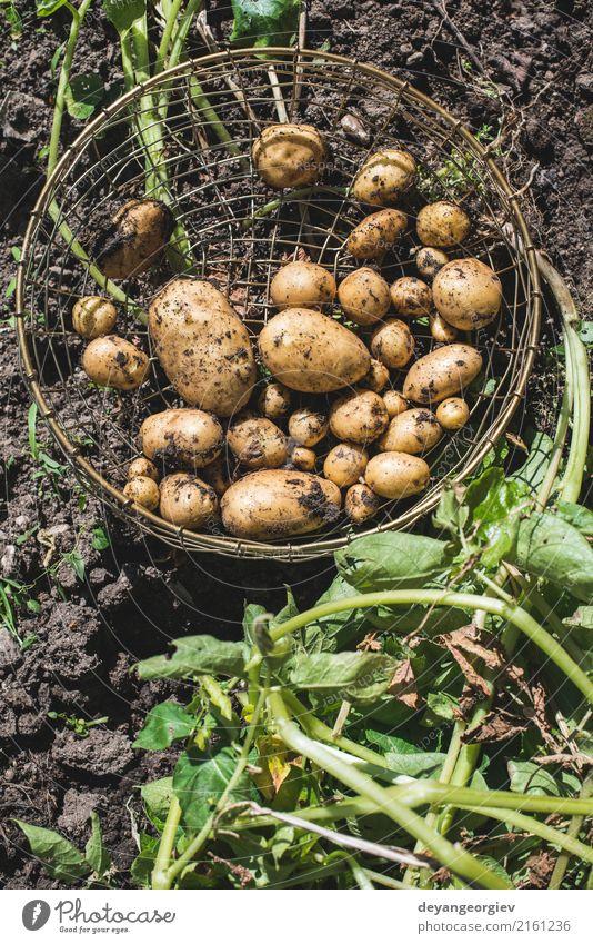Ernten Sie Kartoffeln vom Garten in einem Korb Gemüse Sommer Gartenarbeit Hand Kultur Natur Pflanze Erde dreckig frisch natürlich Lebensmittel Feldfrüchte