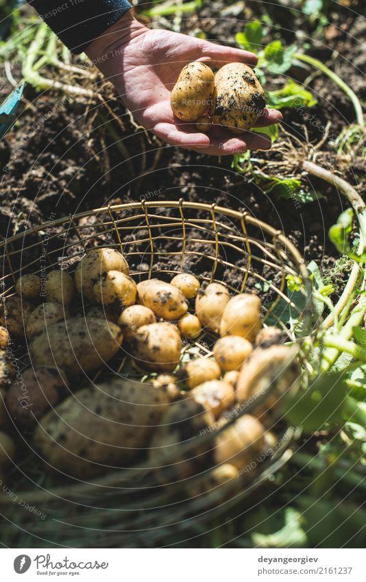 Frauenerntekartoffeln vom Garten in einem Korb Natur Pflanze Sommer Hand natürlich Erde dreckig frisch Kultur Jahreszeiten Gemüse Bauernhof Ernte ländlich