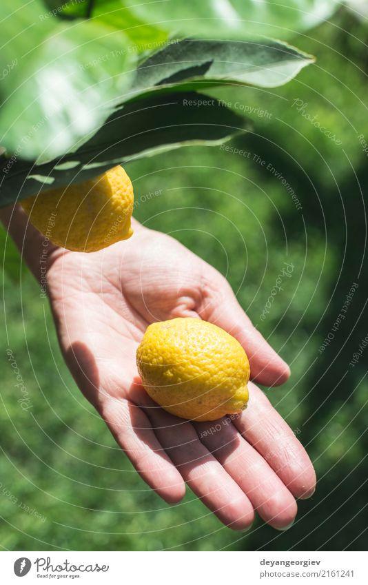Junger Zitronenbaum und Frucht. Handgriff freshl Zitrone Glück Sommer Garten Mensch Frau Erwachsene Natur Baum frisch natürlich gelb grün weiß Mädchen jung