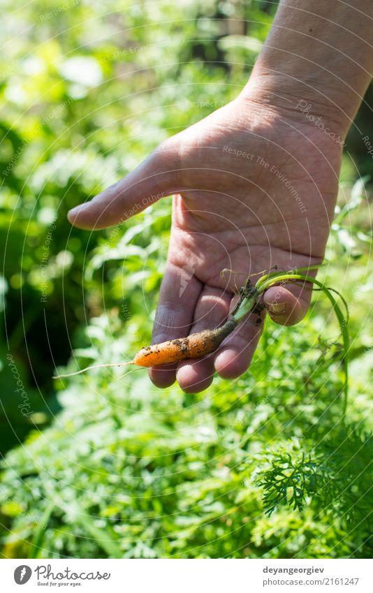 Frauenerntekarotten im Garten Pflanze grün Hand Erwachsene Erde Wachstum frisch Boden Gemüse Bauernhof Ernte Ackerbau Vegetarische Ernährung Landwirt