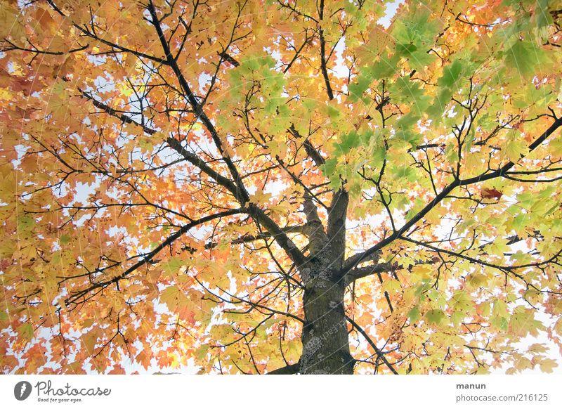 Oktoberbaum Umwelt Natur Herbst Baum Blatt Herbstlaub Herbstfärbung Herbstbeginn herbstlich Zweige u. Äste alt leuchten natürlich Vergänglichkeit