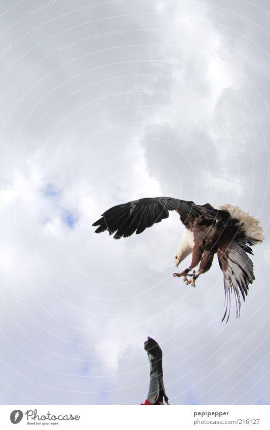 landeanflug Mensch Sommer Tier Ferne Freiheit Vogel Wind Freizeit & Hobby Arme Wildtier maskulin ästhetisch Luftverkehr Show Jagd Veranstaltung