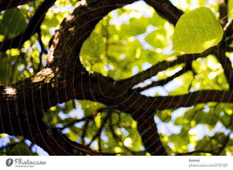 Das letzte Blatt Umwelt Natur Pflanze Himmel Sommer Klima Schönes Wetter Baum Grünpflanze Wildpflanze Ast Zweig Blätterdach Baumstamm Baumrinde Blühend hängen