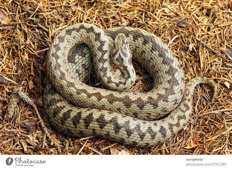 Frau Natur schön Tier Erwachsene grau braun Angst wild Wildtier gefährlich Europäer Gift Reptil Schlange gekreuzt