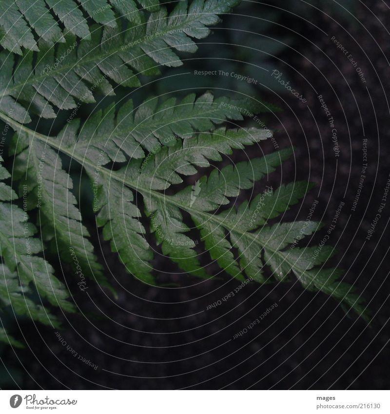 Regenwald Umwelt Natur Pflanze Farn Blatt Grünpflanze Wachstum grün ruhig friedlich ursprünglich natürlich Farbfoto Außenaufnahme Menschenleer Tag Farnblatt