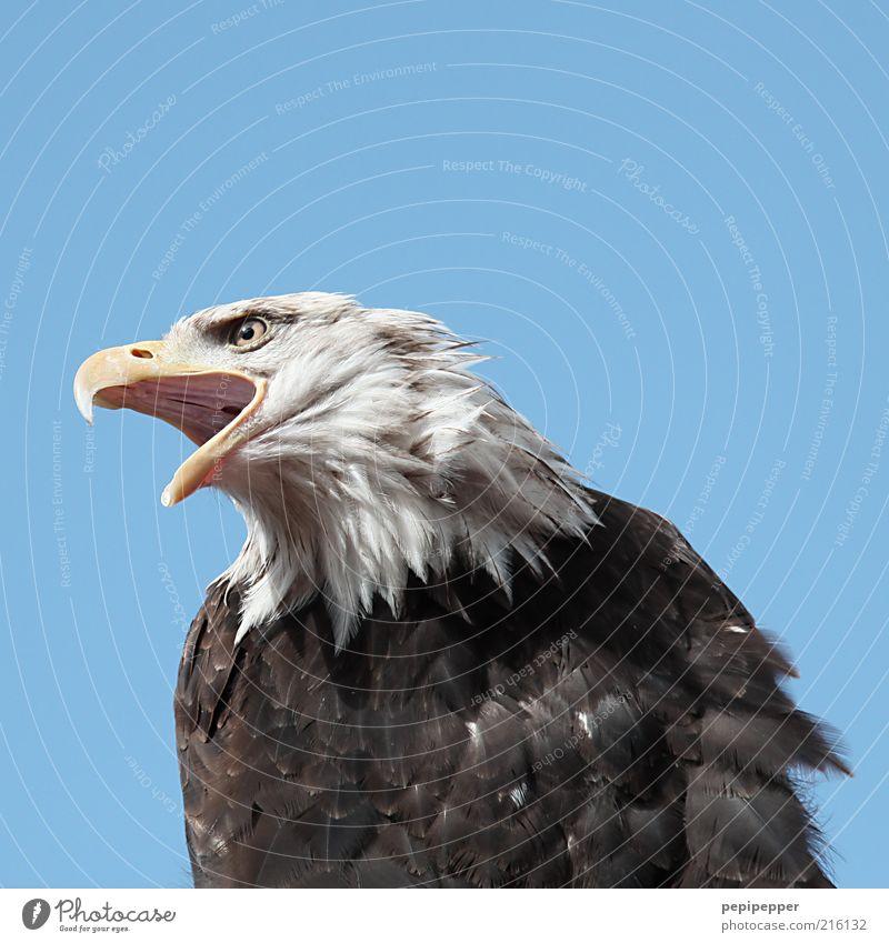 freiheit Freiheit Umwelt Natur Luft Himmel Wolkenloser Himmel Tier Wildtier Vogel Tiergesicht 1 stark wild Farbfoto Außenaufnahme Nahaufnahme Detailaufnahme