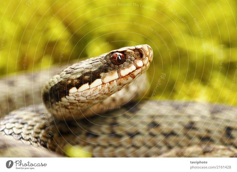schönes Porträt der allgemeinen europäischen Viper Natur Tier Moos Wald Schlange natürlich wild braun grau grün Angst gefährlich Ottern Natter Vipera berus Kopf