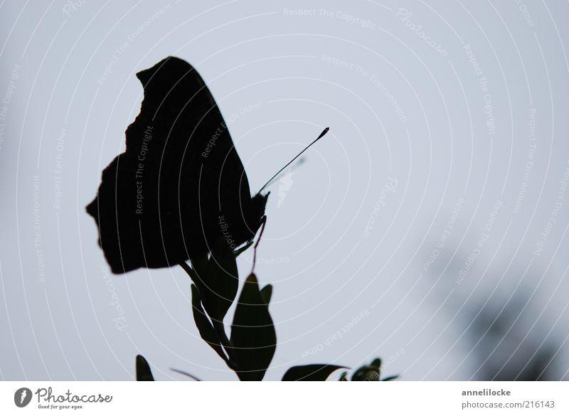 Silhouette Umwelt Natur Pflanze Blatt Tier Nutztier Schmetterling Flügel Fühler Insekt dunkel zart sitzen Gedeckte Farben Außenaufnahme Nahaufnahme Menschenleer